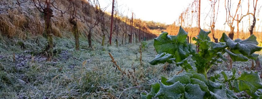 Weingartenzeile mit Raureif