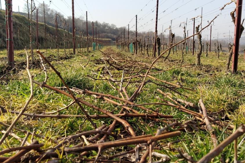 Weingarten nach vollendetem Rebschnitt mit Blick in die Fahrgasse